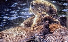 Sea otter holds his friend's head close - May 14, 2015