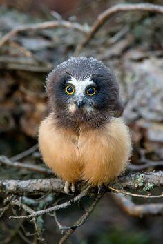 Baby Saw-whet Owl Tiny Owl Cute Owl Print by GreyGhostNaturePhoto