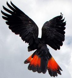 Red Tailed Black Cockatoo. Gorgeous! The white specks on the wings look like stars.