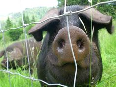 Large Black Pig.  The best foraging & pasture breed of swine you can find.  And they have large litters and are great mothers too.
