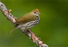 """Ovenbird photo - new addition to my life list - birding by ear as the call sounds like """"teacher, teacher, teacher"""""""