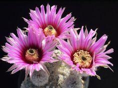 Echinocereus fitchi v berckmanii