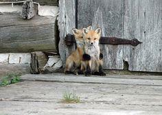 foxy love