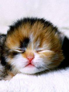 Newborn calico kitten