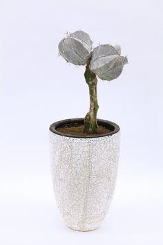 般若 Astrophytum ornatum f. rubrovarieg