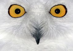 A snowy owl with its eyes wide open sits in its compound in the zoo in Duisburg, Germany, on December 19, 2013. (AP Photo/dpa, Horst Ossinger)