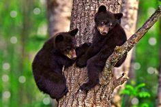 Black Bear Cubs by Blaze on 500px