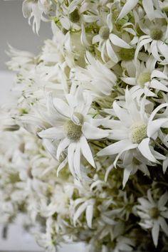 Flannel Flower - Gorgeous Flannel Flower, Vase Arrangements, Happy Flowers, Seasonal Flowers, Nativity, Wedding Flowers, Flora, Daisy, Seasons