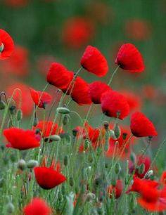 گل شقایق - Pesquisa Google Most Beautiful Flowers, Love Flowers, Wild Flowers, Planting Poppies, Puppy Flowers, Flora Garden, Flower Farmer, Red Poppies, Flower Pots
