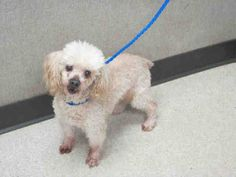 OPCA Shelter Network Alliance . · Orange, CA ~ Animal ID #A1371150 Orange County Animal Care Center ‒ I am a Female, White Toy Poodle mix. The shelter does not know how old I am. I have been at the shelter since January 29, 2015. https://www.facebook.com/OPCA.Shelter.Network.Alliance/photos/pb.481296865284684.-2207520000.1422657768./768534519894249/?type=3&theater
