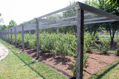 Netted blueberry pergola, for someday...