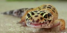 Leopard geckos housing guidelines