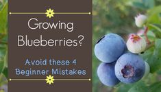 Growing Blueberries - Avoid These Beginner Mistakes