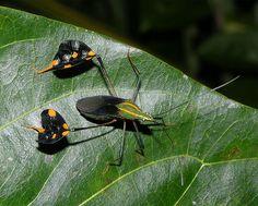 Amazonian banner or leaf-footed bug (Diactor cf bilineatus), Peru