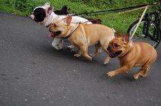 French Bulldog 4P