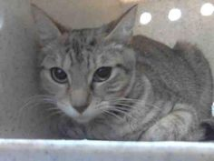 JADE - located at L.A. COUNTY ANIMAL CARE CONTROL: CARSON SHELTER in Gardena, CA - Young Spayed Female Domestic SH