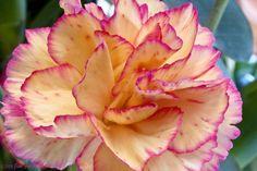 Gorgeous Dianthus