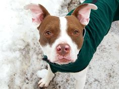 SAFE - 02/25/15 --- Manhattan Center  RUSTY - A1027696  *** EXPERIENCED HOME ***  MALE, WHITE / BR BRINDLE, PIT BULL MIX, 1 yr STRAY - STRAY WAIT, NO HOLD Reason STRAY  Intake condition EXAM REQ Intake Date 02/11/2015   https://www.facebook.com/photo.php?fbid=962744663738413