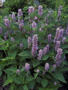 Perennial Flowering Herb Anise Hyssop - Flowers from June to September, needs full sun, good drainage and grows from 2 to 4 ft tall