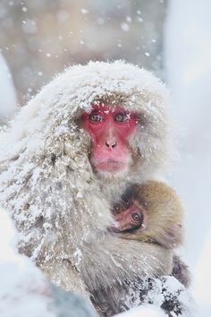 Snow Monkey with Baby ✿⊱╮