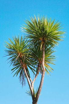 New Zealand cabbage tree stock photo. Image of spike - 16715790 Forest Mural, New Zealand Houses, Kiwiana, Growing Tree, Small Trees, Types Of Plants, Garden Inspiration, Tattoo Inspiration, Fruit Trees