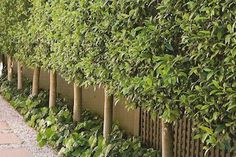 Image result for pleached