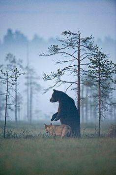 Ungewöhnliche Freundschaft - Bär und Wolf streifen gemeinsam durch die Wälder - Natur-Fotogalerien- GEO.de