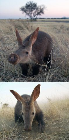 Africa | Baby aardvark.  Namibia | Image ©Andrew Bowden (Top) and Jack Somerville (Bottom)  || Source; http://www.dailymail.co.uk/news/article-2732501/Nose-place-like-home-Orphaned-baby-aardvark-mother-shot-farmer-saved-nature-reserve.html