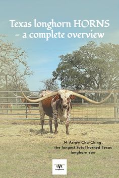 M Arrow Cha- Ching is the longest total horned Texas longhorn cow. She features in our latest Blog Post on Texas longhorn HORNS. #GVRlonghorns #Texaslonghorncattle #longhorncow #Texashillcountry #farming #ranching Longhorn Cow, Longhorn Cattle, Cattle Farming, Livestock, Cow Quotes, Cattle For Sale, Green Valley Ranch, Texas Photography, Texas Ranch