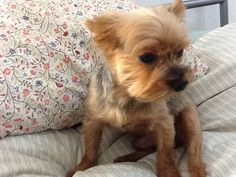 Short Haircuts for Yorkie Dogs Yorkie Short Haircuts, Yorkie Poo Haircut, Dog Haircuts, Morkie Puppies, Spaniel Puppies, Yorkie Puppy, Yorkies, Terrier Puppies, Little Dogs