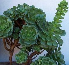 Precious Tips for Outdoor Gardens - Modern Echeveria, Cacti And Succulents, Planting Succulents, Succulent Care, Evergreen Trees, Cactus Y Suculentas, Pink Tulips, Types Of Plants, Air Plants