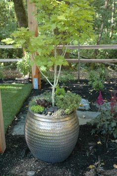 potted japanese maple with succulents