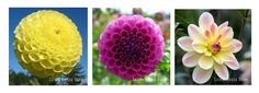 Different types of dahlia flowers