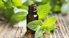 There are a myriad of tea tree oil benefits in today's society. Tea tree oil is a necessity in one's arsenal of natural medicinal products. Peppermint Oil Uses, Peppermint Plants, Oregano Oil Benefits, Essential Oils For Colds, Cold Sore, Diy Scrub, Natural Home Remedies, Tea Tree Oil, Natural Remedies