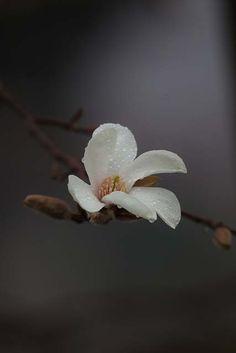 """"""" Kobushi magnolia """" 11.Mar.2013"""