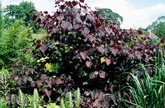 RHS Plant Selector Cercis canadensis 'Forest Pansy' AGM / RHS Gardening