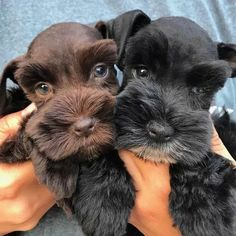 Maybe you've just adopted a Schnauzer into your family and don't know what to call them yet. If you're looking for the best name for a Schnauzer dog, you've come to the right place! Here are 30 of the best sweet names for Schnauzer dogs! Schnauzer Grooming, Miniature Schnauzer Puppies, Schnauzer Puppy, Dog Grooming, Schnauzers, Black Schnauzer, Cute Puppies, Cute Dogs, Dogs And Puppies