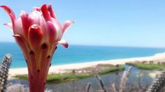 """""""Desierto y Mar"""" por Arnulfo García Contreras, tomada en Todos Santos B.C.S. el 8 de agosto de 2013.  La verdad me es muy difícil elegir el elemento, pienso que predomina Tierra por que la foto proyecta una flor de Epitaya siendo la atracción de la fotografía contemplando el mar desde lo alto de un cerro."""