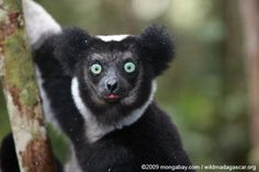 Madagascar: Conservation official arrested for killing 11 endangered lemurs Primates, Mammals, Madagascar, Adorable Cute Animals, Wildlife Conservation Society, Lost In Translation, Thinking Day, Humane Society, Panda Bear