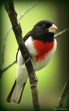 Male Rose Breasted Grosbeak (Pheucticus ludovicianus) is a large insect-eating songbird in the cardinal family (Cardinalidae). Pretty Birds, Love Birds, Beautiful Birds, Small Birds, Colorful Birds, Kinds Of Birds, Backyard Birds, Bird Pictures, Exotic Birds
