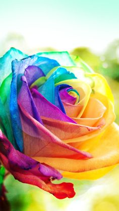 roses wallpaper backgrounds - New iPhone 6 & Wallpapers & Backgrounds in HD Quality Iphone 6 Wallpaper Backgrounds, Hd Flower Wallpaper, Rainbow Wallpaper, Colorful Wallpaper, Colorful Backgrounds, Transparent Flowers, Rainbow Flowers, Rainbow Colors, Colorful Roses