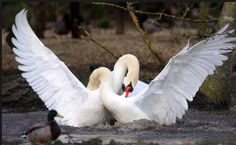 Swans    Though the image of two loved-up swans forming a heart shape with their necks may be more widely known, the birds also use the long limbs to battle, very occasionally getting 'tied' together in the process !   Image source: richard austin