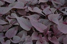 Sweetheart Purple Sweet Potato Vine (Ipomoea batatas 'Sweetheart Purple') at Dutch Growers Garden Centre