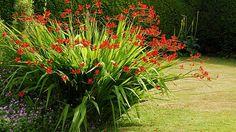 Die Montbretie ist eine beliebte Sommerblume. (Quelle: imago/Arco Images)