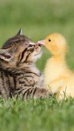 Baby duck and baby tabby kitten in the grass, so much cuteness in one photo.