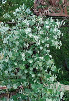 """Kintzley's Ghost honeysuckle (Lonicera reticulata) not only has beautiful """"ghosted"""" blue bracts (specialized leaves), but its vining habit makes it useful for providing shade and privacy in the garden as well"""