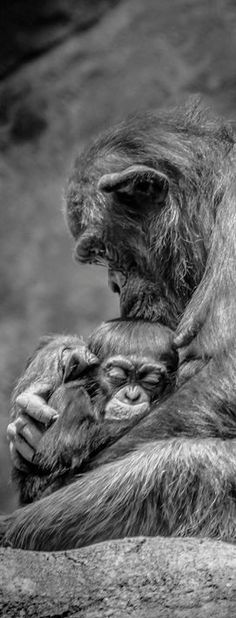 """Photograph by Peter T. in 'Your Shot' National Geographic. """"There is nothing more beautiful than the love from a mother to her child. And there is nothing more natural either. So peacefully resting in the mother's arms, this little chimpanzee knows that his mother would do anything to protect him."""""""