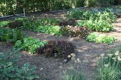 Lettuce rows with pine straw mulch