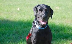 Tyson Stargazer Male Black Lab with Houndhaven in Minneola  2 yrs 67 lbs no info on small dogs, kids  (recuperating from being hit by a car) no email sent