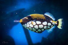 Clown Triggerfish by Vladimir Koss on 500px